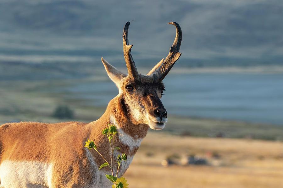 Buck Antelope Photograph