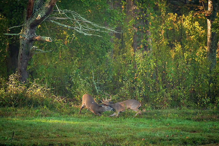 Buck Battle by Jeff Phillippi