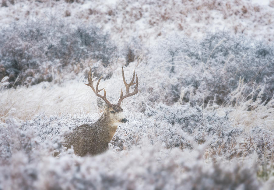Buck in the Snow by Darren White