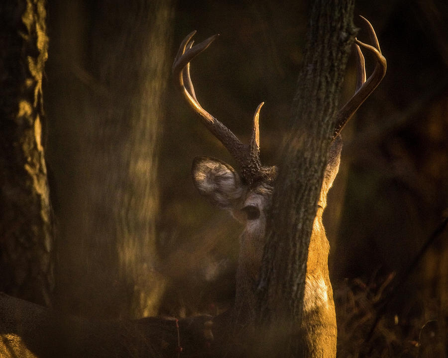 Buck in Woods by Jeff Phillippi