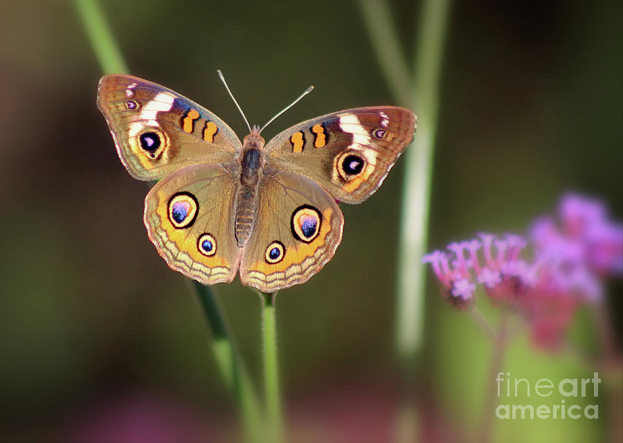 Buckeye Butterfly Beauty by Karen Adams
