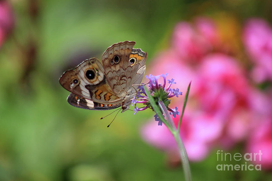 Buckeye Butterfly Photograph - Buckeye Butterfly In Garden 2019 by Karen Adams