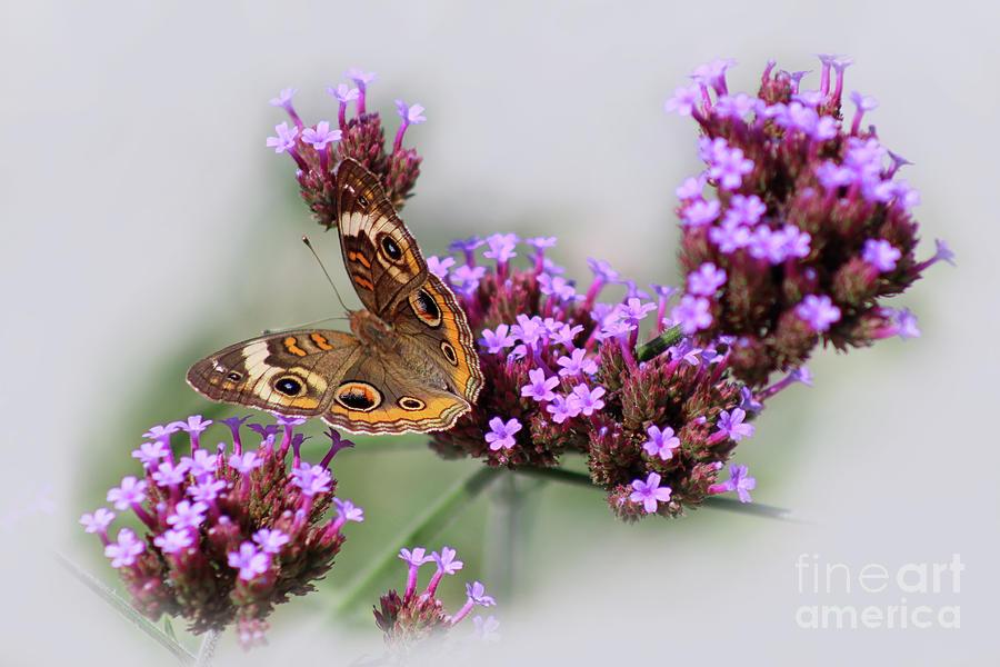 Buckeye Butterfly Photograph - Buckeye Butterfly In Ohio 2019 by Karen Adams