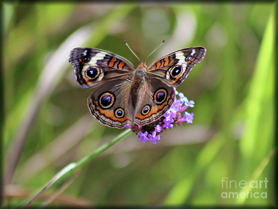 Buckeye Butterfly in Ohio Field 2019 by Karen Adams