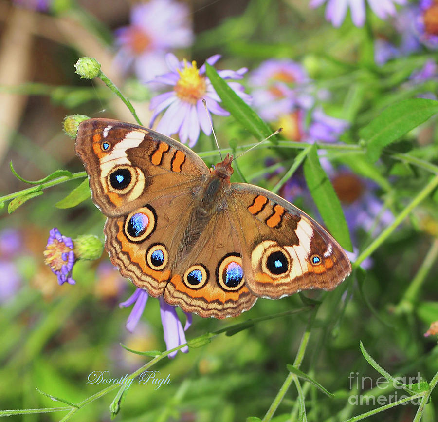 Butterfly Photograph - Buckeye In Autumn by Dorothy Pugh