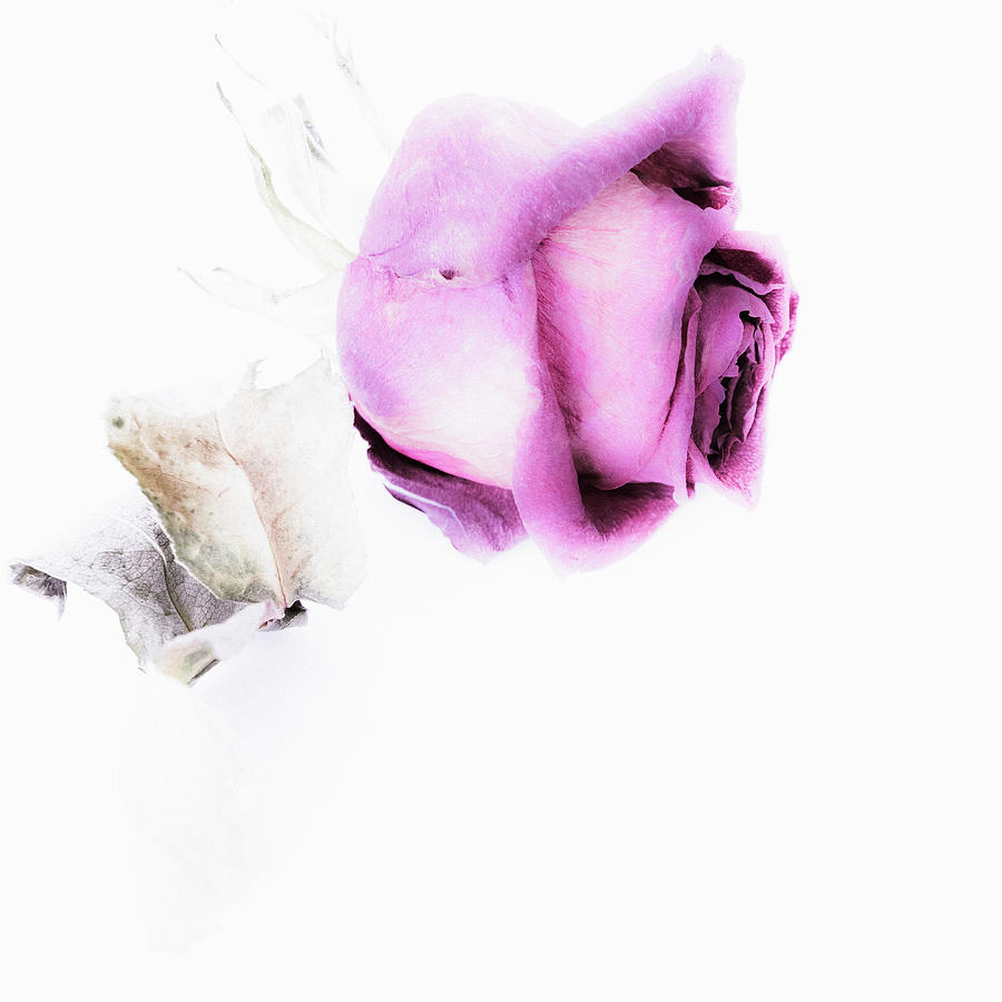 Bud of dried rose - floral creative photography with copy space by Cristina Stefan