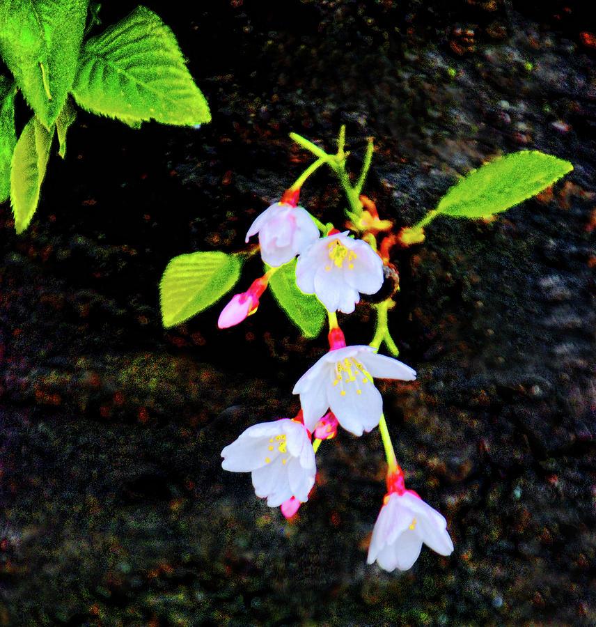 Budding cherry blossoms by Bill Jonscher