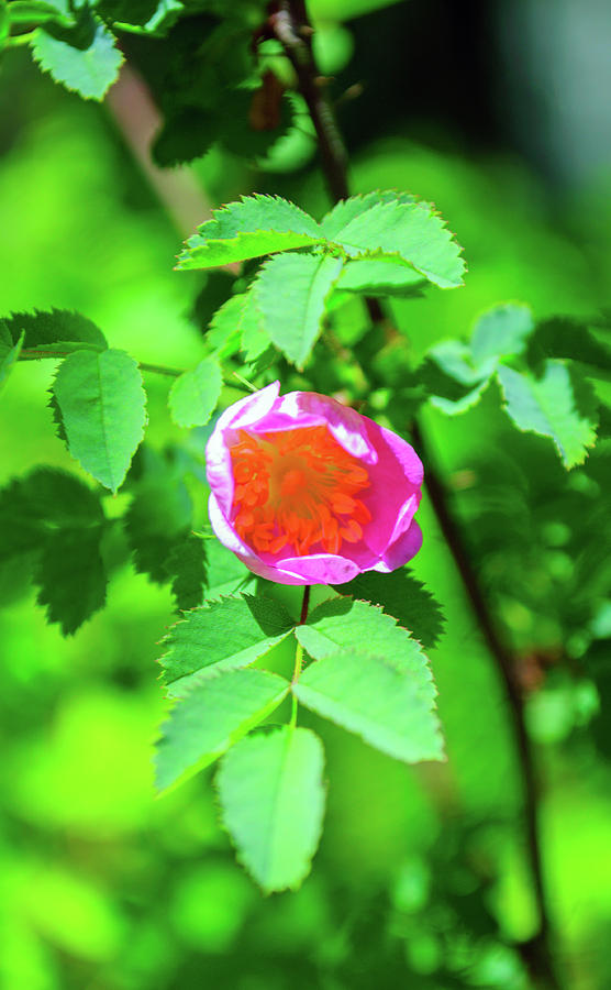 Budding Wild Rose by Tikvah's Hope