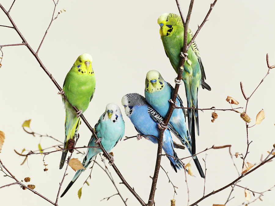 Budgies Grouped On A Branch Photograph by Walker And Walker