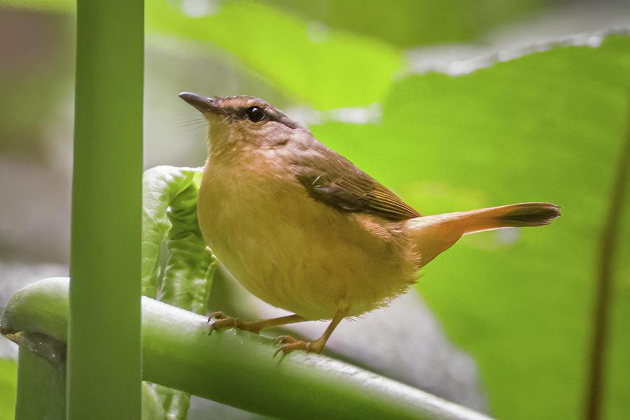 Buff Rumped Warbler Fincas Verdes San Antonio Tolima Colombia by Adam Rainoff