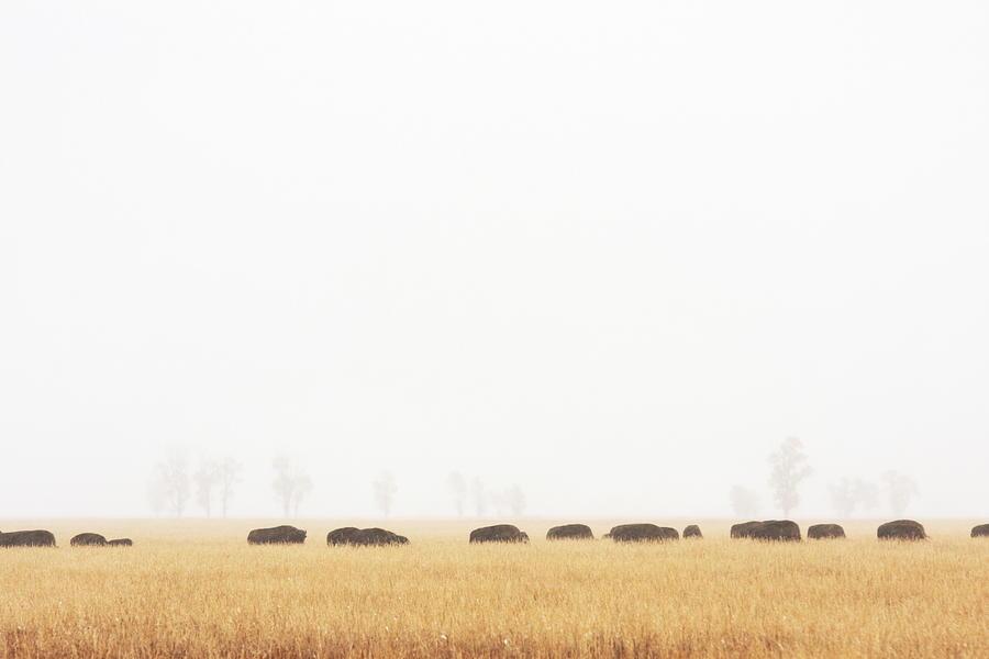 Buffalo Bison Herd Migration Fog Photograph by Chuckschugphotography