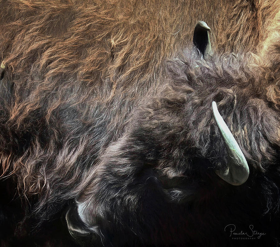 Buffalo Bull by Pamela Steege