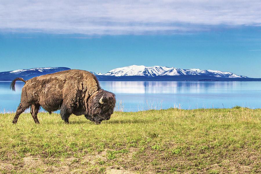 Buffalo Grasing In Yellowstone National Photograph by Daniel Osterkamp