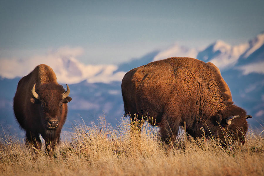 Buffalo Grazing at Dawn by Kevin Schwalbe