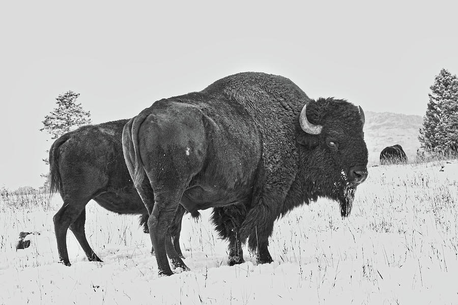 Buffalo in the Snow by Kevin Schwalbe
