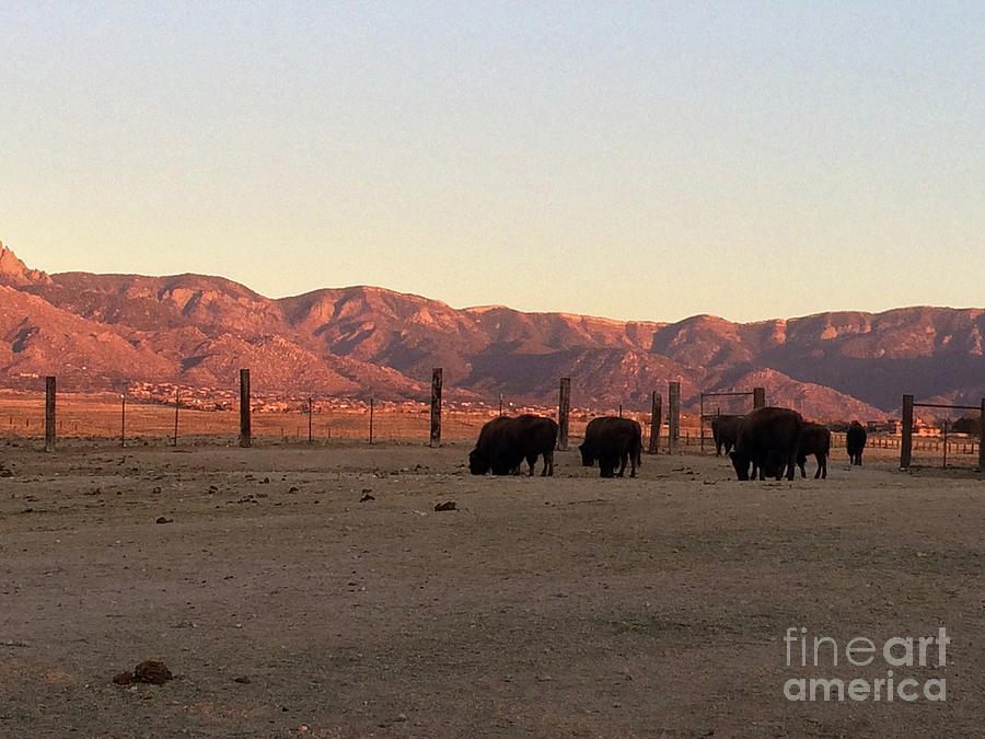 Buffalo on Sandia  by Leslie M Browning