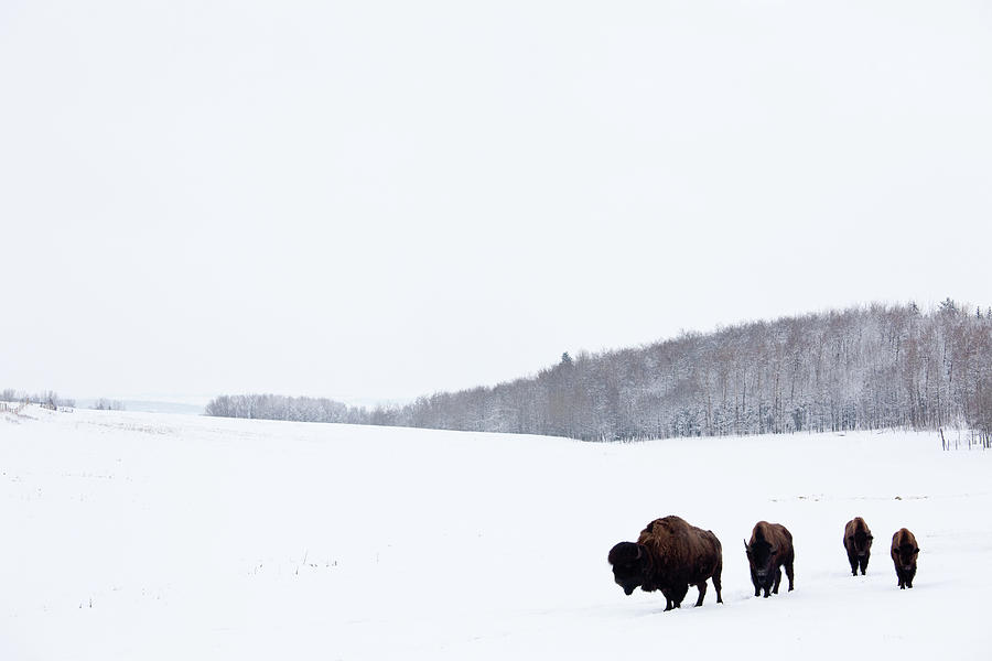 Buffalo Or Bison On The Plains In Winter Photograph by Imaginegolf