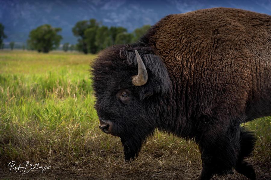Buffalo by Rick Billings