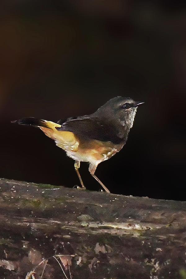 Buffed-rumped Warbler by Alan Lenk