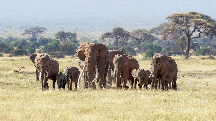 Bull elephant with a herd of females and babies in Amboseli, Kenya by Jane Rix