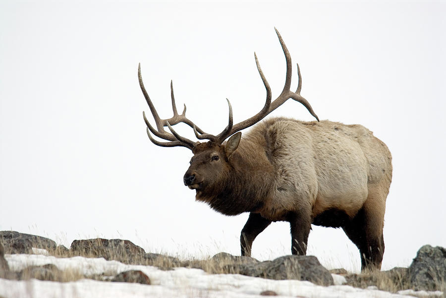 Bull Elk Approaching Photograph by Mark Newman