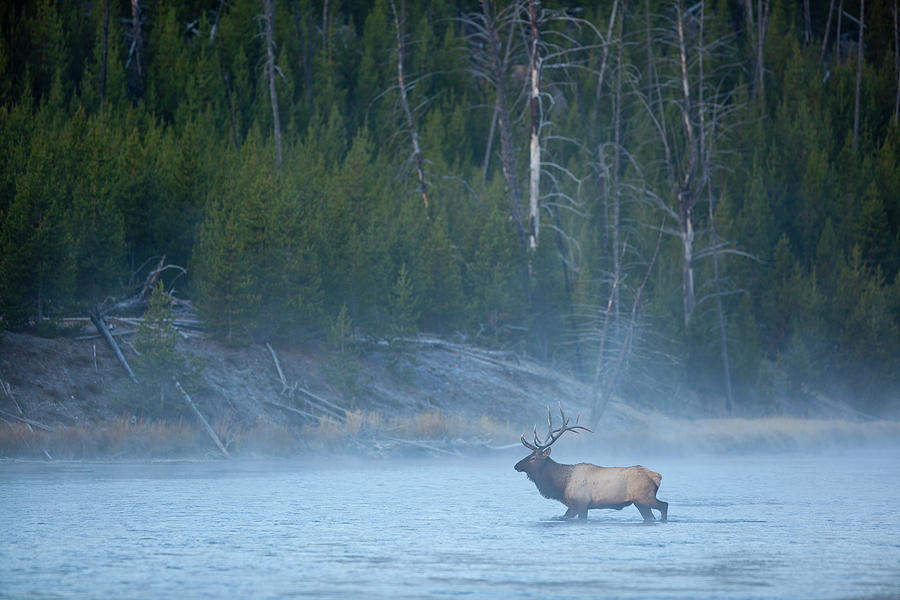Bull Elk Crossing River In Morning Photograph by Noah Clayton