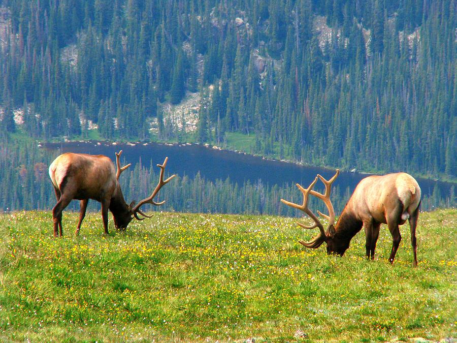 Bull Elk Grazing In Colorado Photograph by Sandra Leidholdt