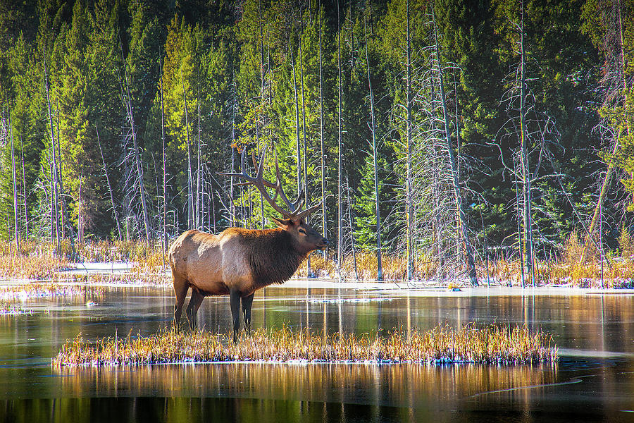 Bull Elk in Autumn at Yellowstone National Park by Randall Nyhof