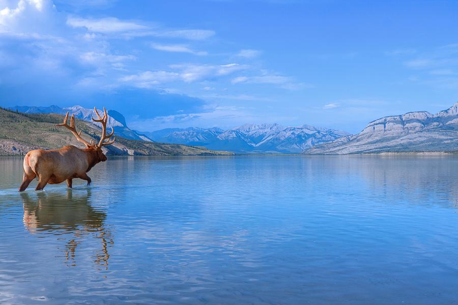 Bull Elk In Jasper Lake Photograph by James Anderson