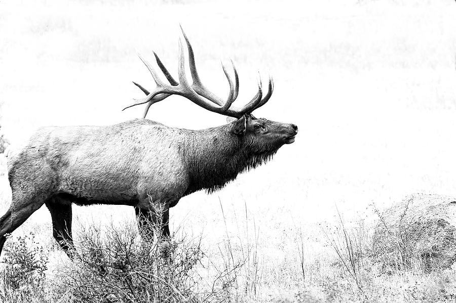 Elk Photograph - Bull Elk In Rut by Perspective Imagery