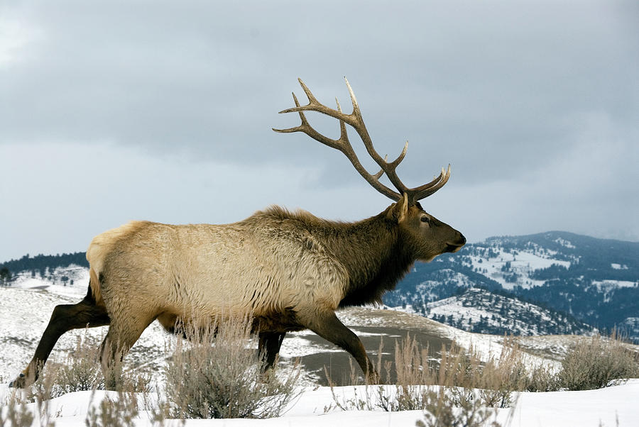 Bull Elk Walking In Snow Photograph by Mark Newman