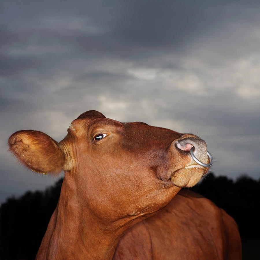 Bull In Evening Light Photograph by Roine Magnusson