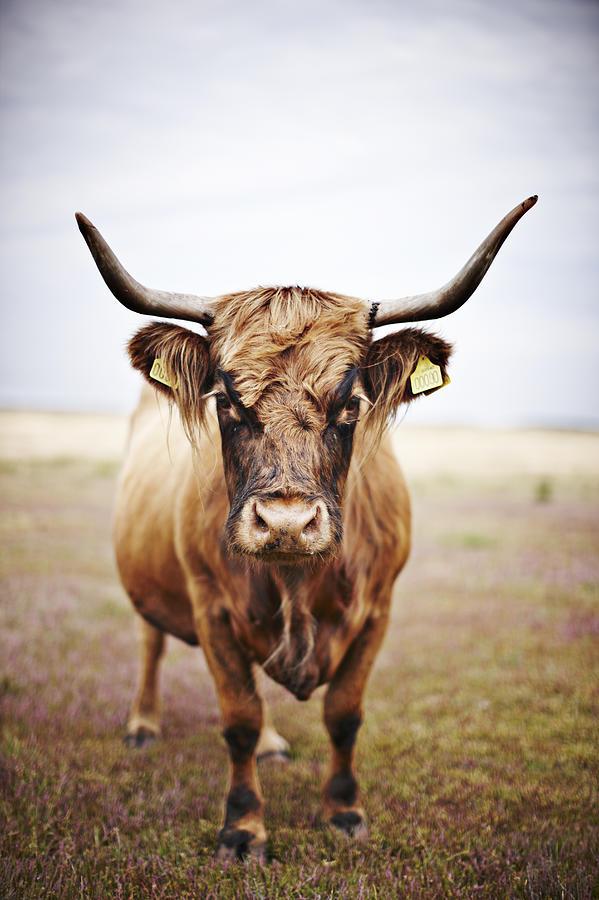 Bull In Field Photograph by Niels Busch