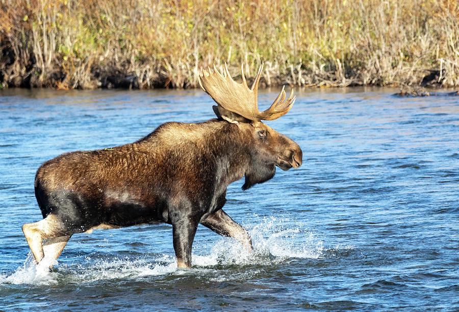 Bull Moose 10 by Michael Chatt