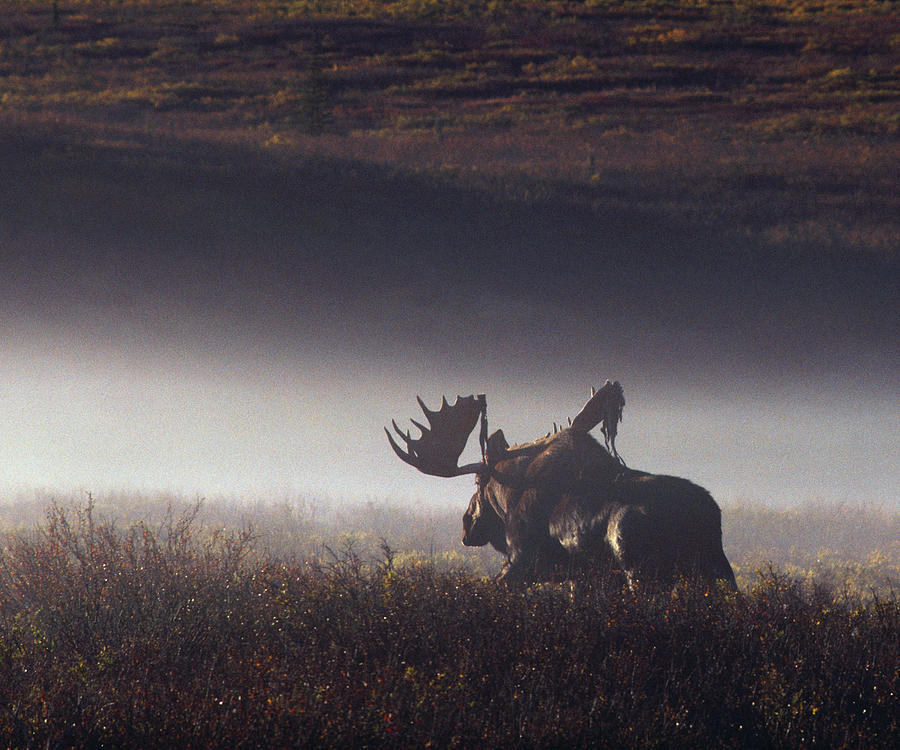 Bull Moose Alces Alces Walking Through Photograph by Johnny Johnson