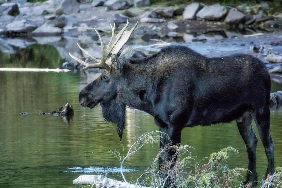 Bull Moose Contemplating Where to Go by Belinda Greb
