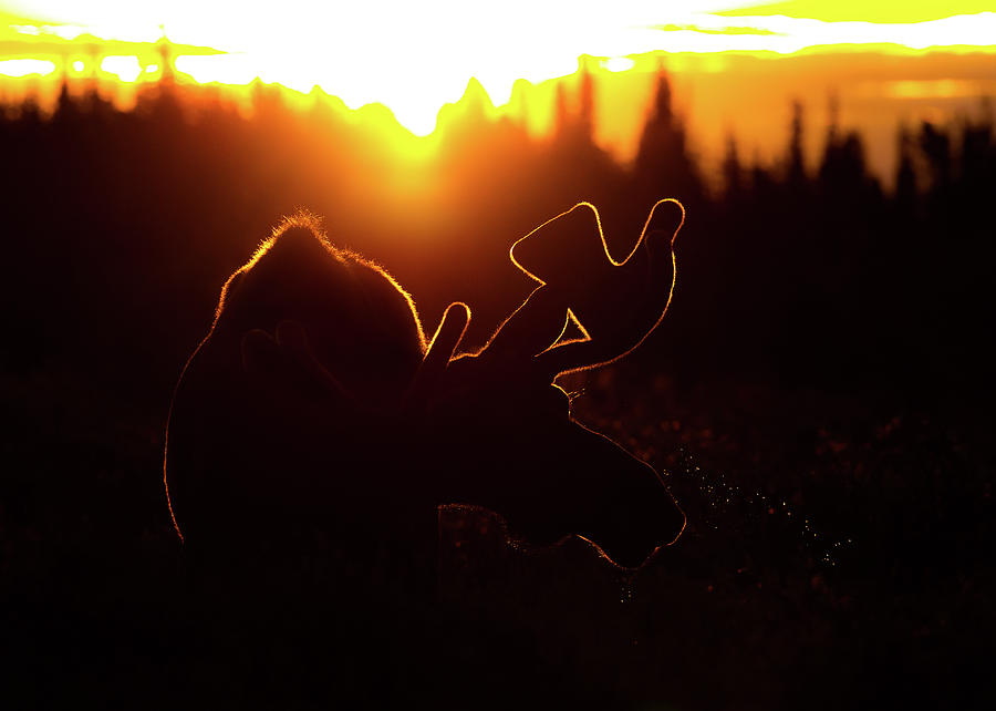 Bull Moose Sunrise by Gary Kochel