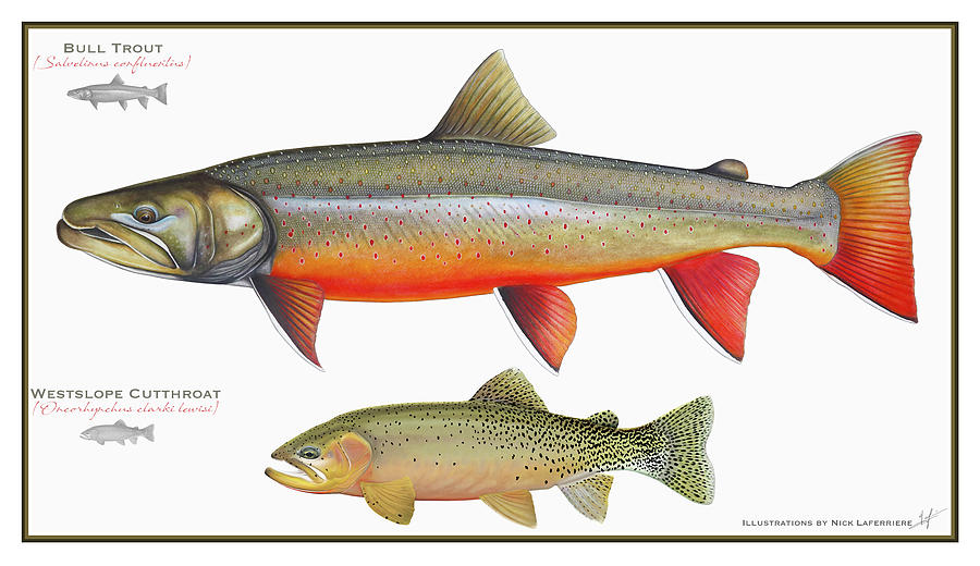 Bull Trout Drawing - Bull Trout And Westslope Cutthroat Illustration by Nick Laferriere