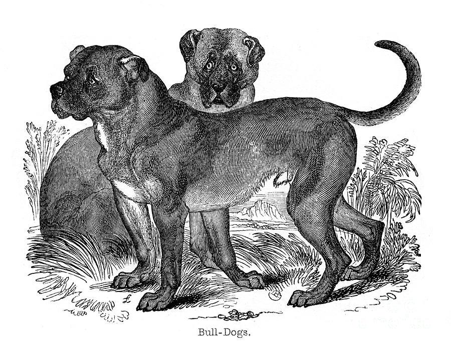Bulldog, 1848 Drawing by Print Collector