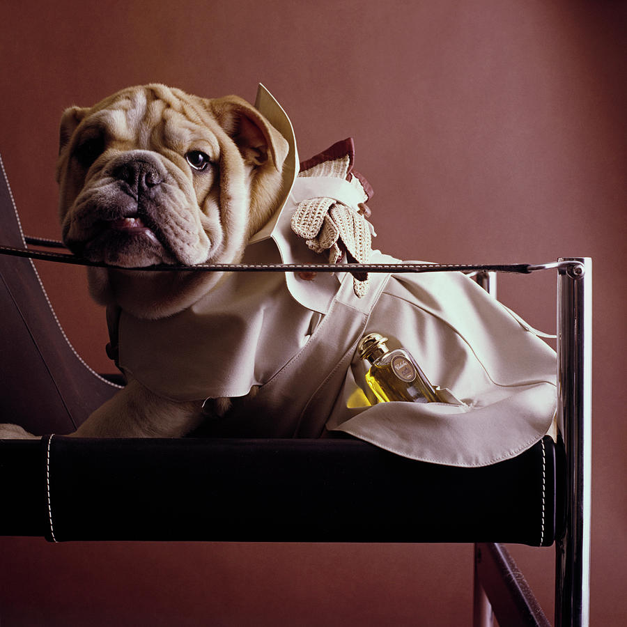 Bulldog With Caleche Perfume By Hermes Photograph by Fotiades