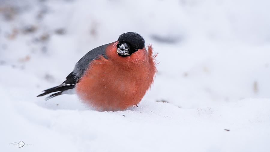 Bullfinch a blowy day on the snow  by Torbjorn Swenelius