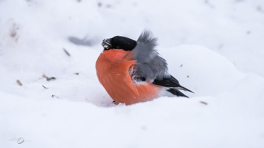 Bullfinch On The Snow A Very Windy Day Photograph