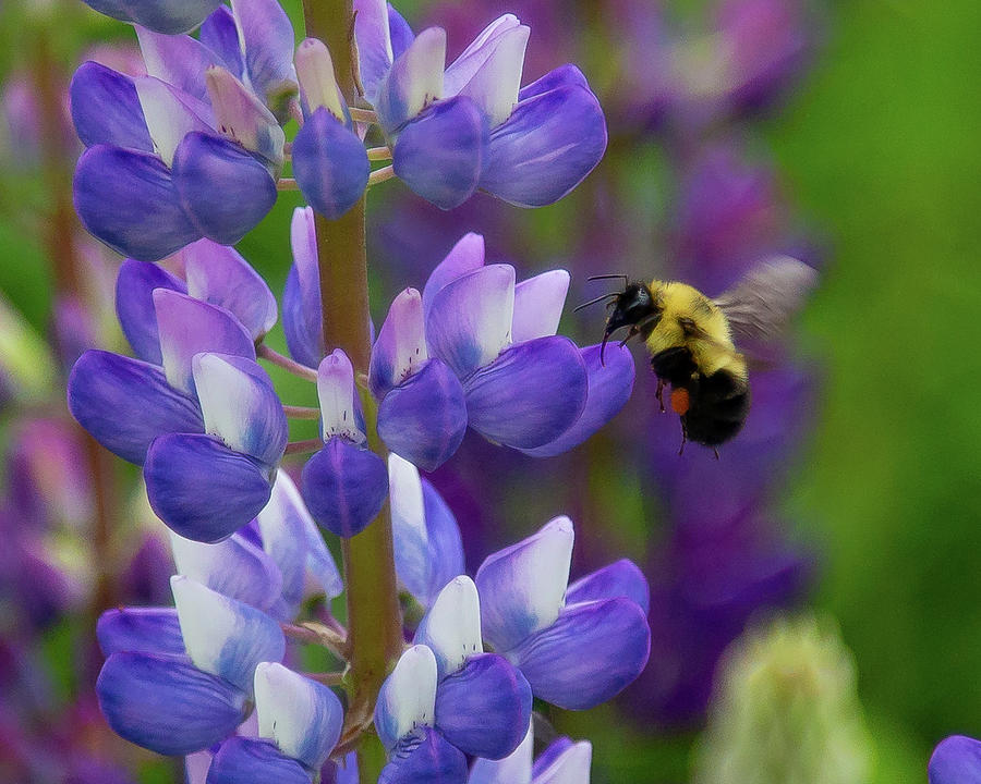 Bumble Bee and Lupine by Tim Kirchoff