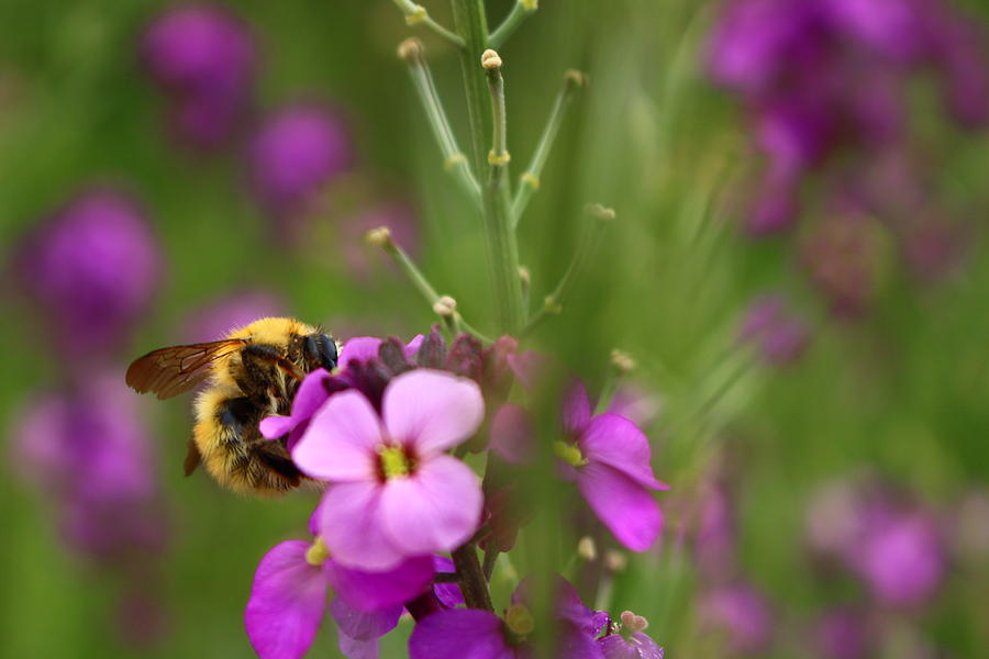 Bumble Bee and Wallflower 'Bowles's Mauve' by Loretta S