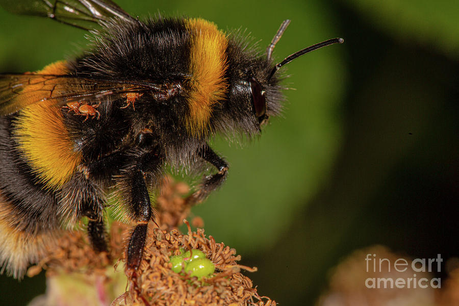 Bumble Bee by Brian Roscorla