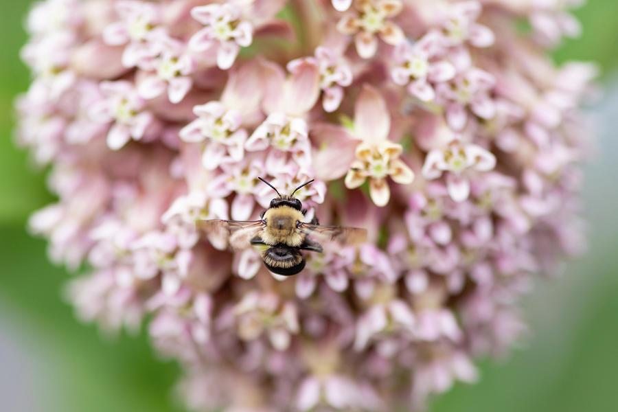 Bumble Bee on Milkweed by Todd Henson