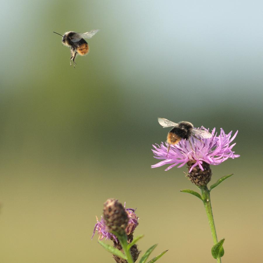 Bumble Bees Photograph by Hans Nieuwenhuis