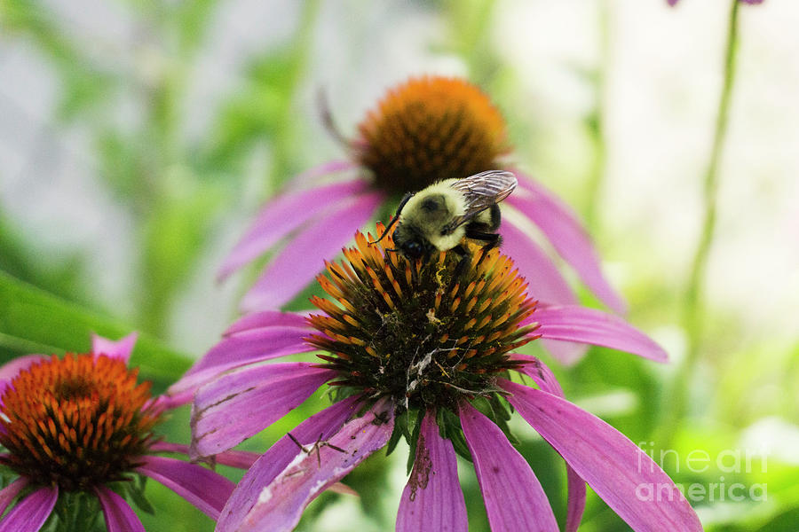 Bumblebee On Cone Flower by Randall Saltys