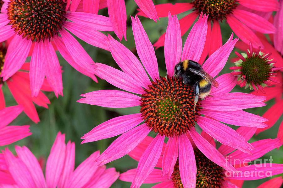 Bumblebee Photograph - Bumblebee On Echinacea Glowing Dream Flower by Tim Gainey