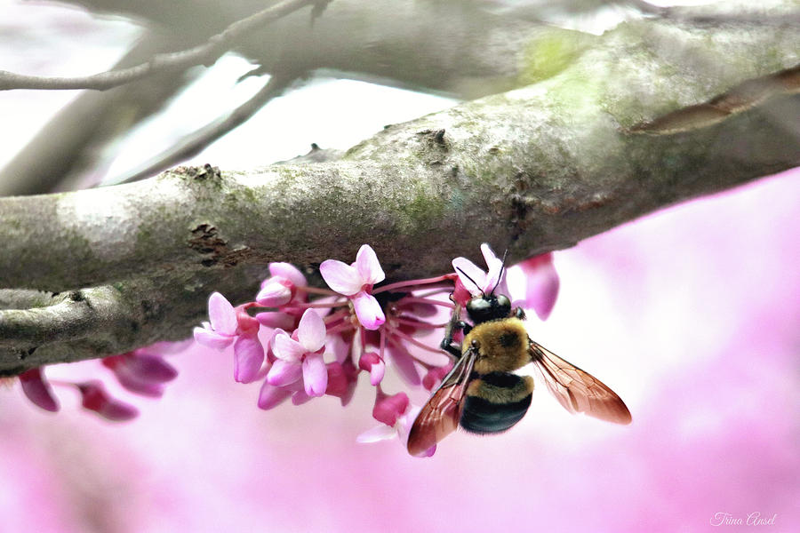 Bumblebee on Redbud Flower by Trina Ansel